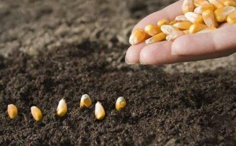 Как сажать кукурузу: способы посадки