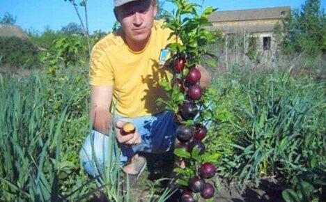 Колоновидные плодовые деревья – создадим сад на одной сотке!