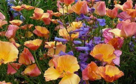 Удивительная красавица сада — эшшольция калифорнийская