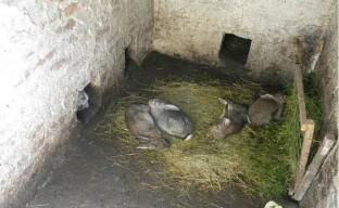 Выращивание и разведение кроликов в яме