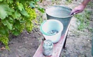 Древесная зола – как вид удобрения виноградника (видео)