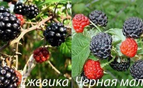 Как отличить черную малину и ежевику?