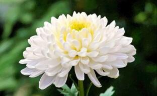 Особенности выращивания крупноцветковых хризантем
