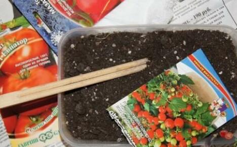 Выращиваем рассаду помидор: как правильно сажать семена и как их подготовить к посеву