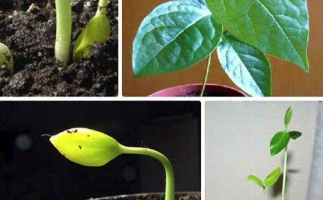 Хурма из косточки: необычный сад в домашних условиях
