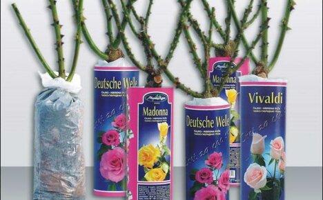 Как правильно выбрать и посадить розу из коробки