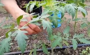 Подвязывание растений в теплице