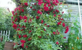 Зачем нужно проводить мульчирование роз в саду?