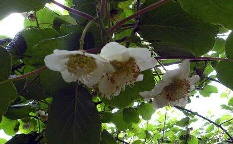 Актинидия: чем подкормить лиану весной