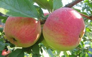 Уход за плодовыми деревьями в летний период