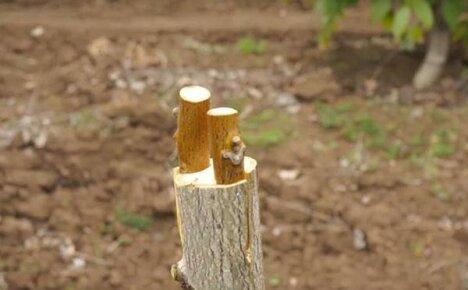 Перепрививка молодого орехового сада