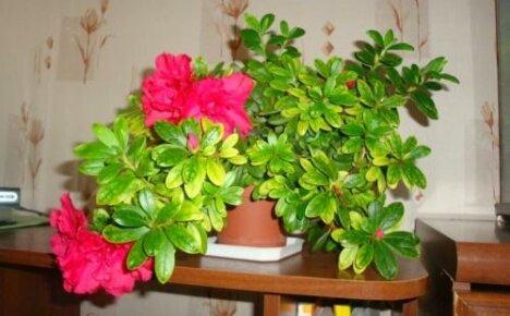 Грамотный уход за азалией дома- залог обильного цветения