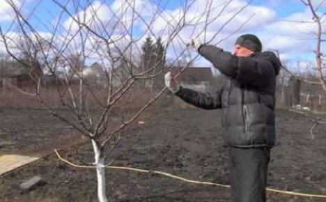 Формирование кроны — важный этап выращивания алычи