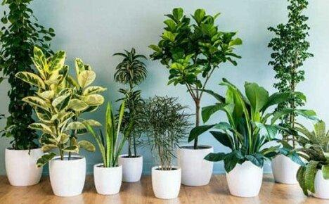 Выращиваем дома не требующие особого ухода цветы