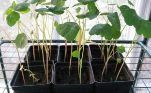 Особенности выращивания рассады настурции