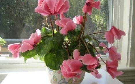 Ухаживаем за цикламеном правильно: что любит цветок