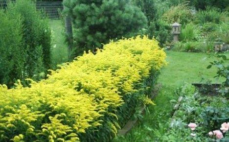 Солнечное цветение золотарника гибридного и его популярные сорта