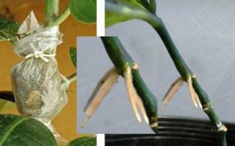 Как размножить фикус: два способа черенкования и получение воздушных отводок