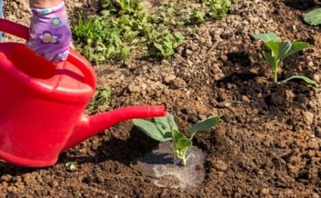 Что нужно знать о поливе рассады капусты после ее высадки в грунт?