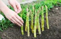 Как вырастить спаржу семенами, деленками и черенками