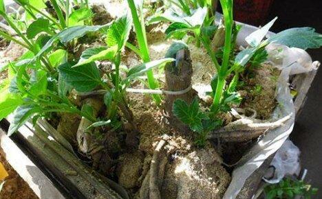 Своевременное проращивание клубней георгинов даст возможность получить пышные кусты