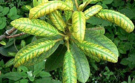 Распространенные болезни растений — хлороз
