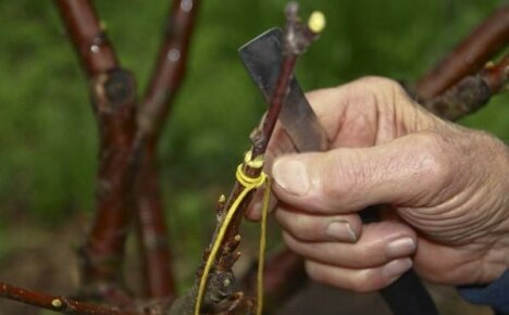 Прививка абрикоса на сливу в расщеп и методом улучшенной копулировки