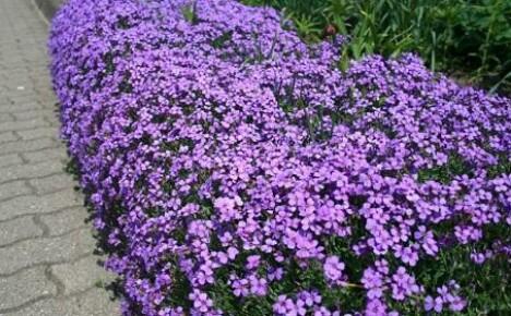 В помощь цветоводам: цветы для ковровой клумбы