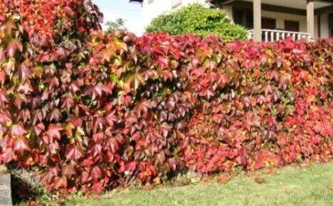Шикарная живая изгородь из девичьего винограда: как посадить и какие сорта использовать