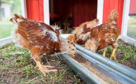 Выращивание цыплят, содержание и кормление в домашних условиях
