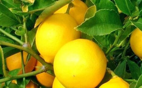 Учимся выращивать и ухаживать за лимоном дома