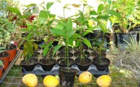 Как вырастить манго из косточки: выбор, проращивание и посадка