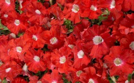 Как выглядит петуния Селебрити и ее особенности