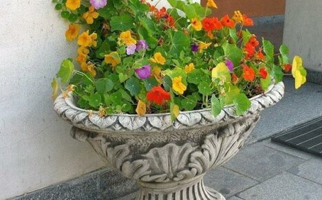 Полезные свойства настурции, её выращивание в кашпо или вазе