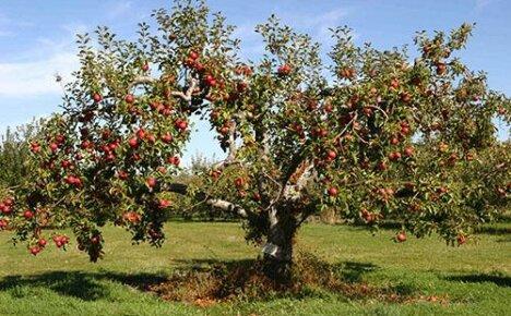 Садовые работы по летней обрезке яблонь