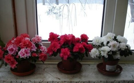 Секреты ухода за комнатной азалией или что делать с цветком после покупки
