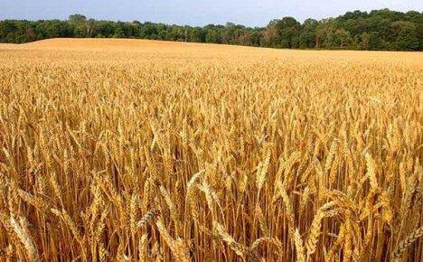 Особенности выращивания озимой пшеницы