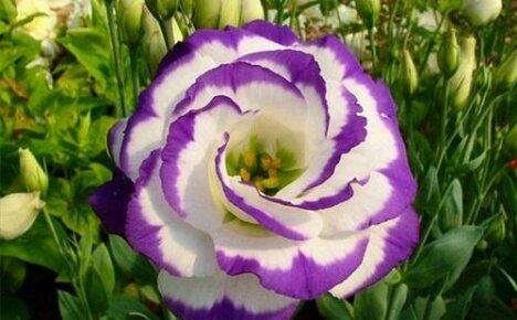 Какие цветы похожи на розу?