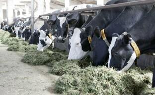 Молочное животноводство в промышленных масштабах