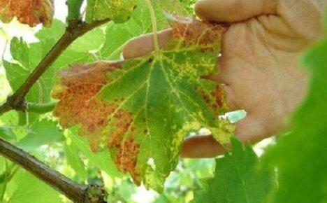 Почему сохнут листья винограда?