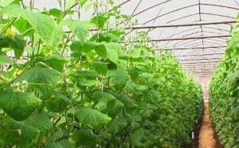 Круглогодичное выращивание огурцов в теплице
