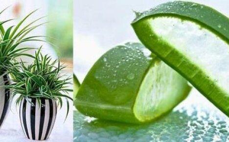 Полезные комнатные растения или когда красота рука об руку с практичностью