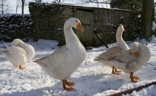 Зимнее содержание гусей