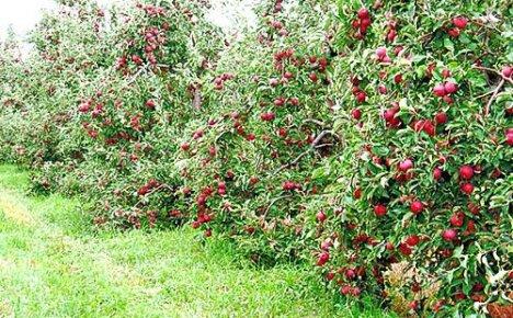 Выбираем лучшие сорта яблонь для Подмосковья