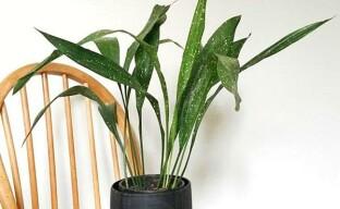 Выращивание аспидистры в комнатных условиях