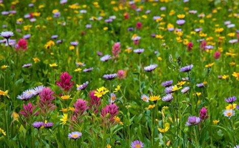 Красота и польза русской земли — луговые и полевые цветы