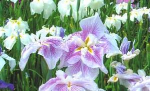 Каталог цветы в саду и огороде 28