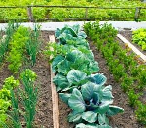 Совместимые растения на огороде