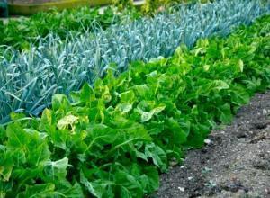 Что посадить на огороде?