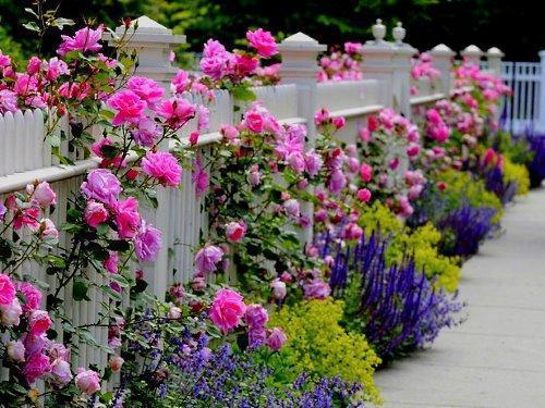 Оформление изгороди из роз